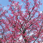 赤という積極的な国民性が溢れる春節のお祝い