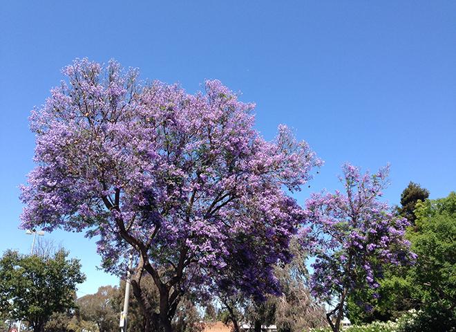 ジャカランダとカリフォルニアの青い空