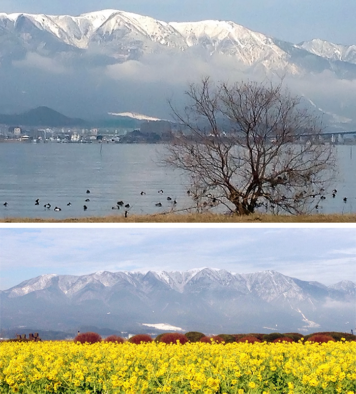 黄色いカンザキハナナから感じる春の訪れ