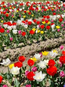 春色のスカーフ選びにもおすすめ、チューリップカラー