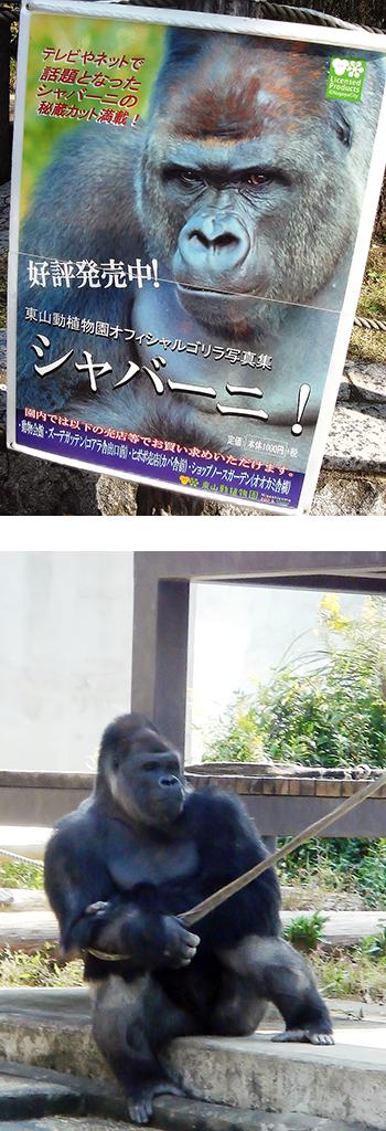 秋の東山動植物園 イケメンゴリラ